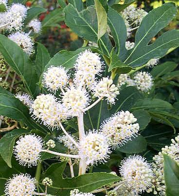 цветы фото фатсия