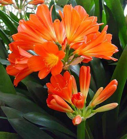 Кливия цветок уход в домашних