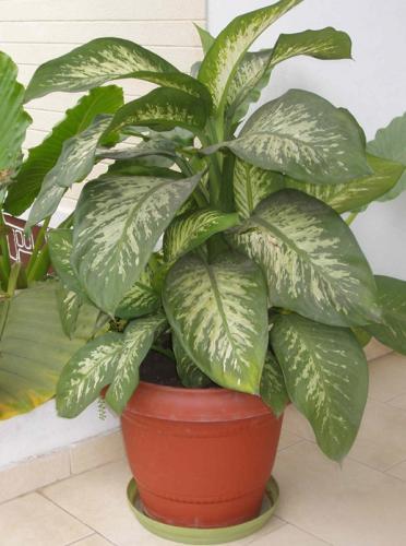 Ядовитые комнатные растения на фото
