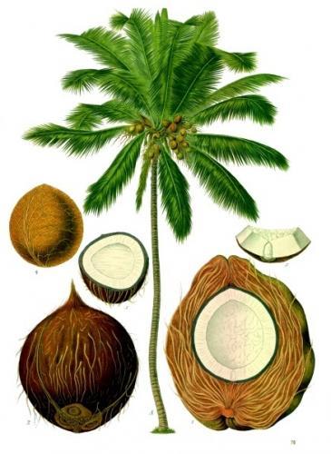 Фото кокоса даст вам понять, что он из себя представляет: http://cvetochki.net/scope/foto-kokosa-dast-vam-ponyat-chto-iz-sebya-predstavlyaet.html