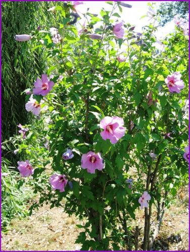 фото растение гибискус