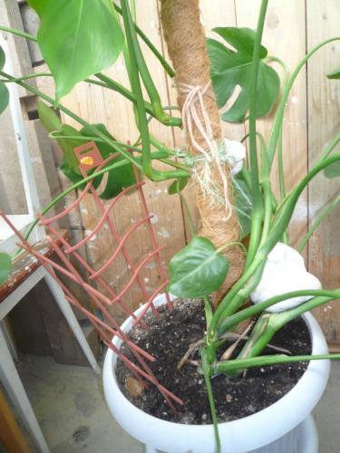 Как пересадить монстеру с воздушными корнями в домашних условиях