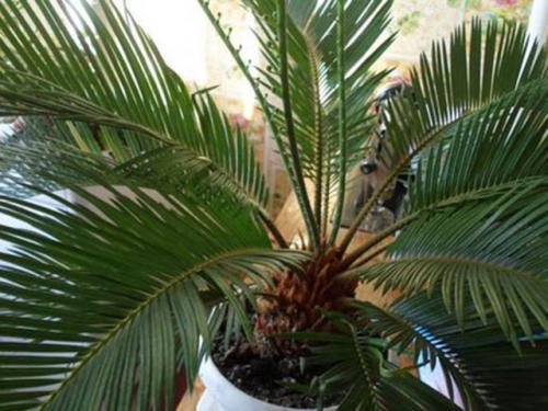 пальма цикас уход