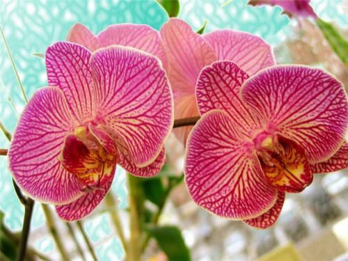 Прихотливый уход за цветами орхидеи
