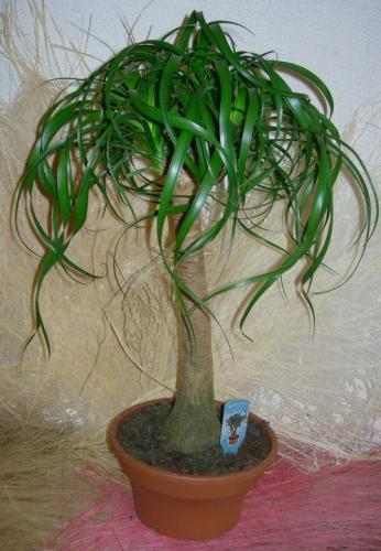Слоновья нога - растение