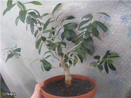 оливковое дерево уход в домашних условиях