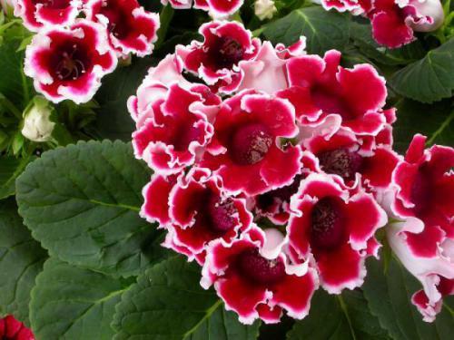 Глоксиния прекрасная: разновидности и уход