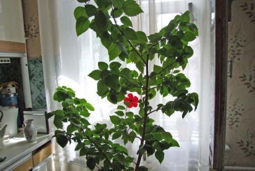 китайская роза уход