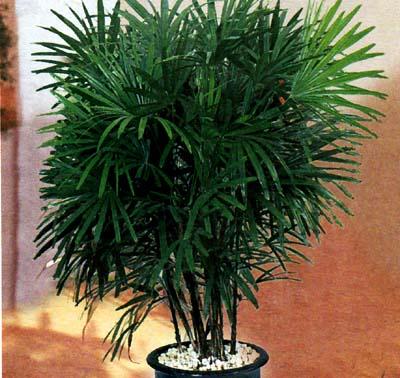 Пальмовые уход в домашних условиях 78