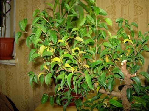 почему желтеют листья фикуса