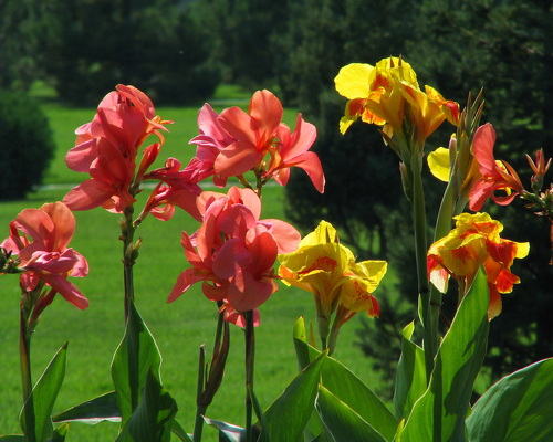 Цветы канны - экзотика сада: cvetochki.net/scope/tsvety-kanny-ekzotika-sada.html