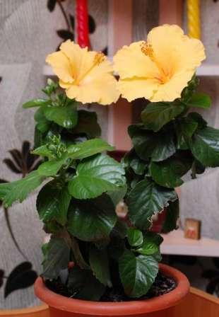 Китайская роза дома красивый