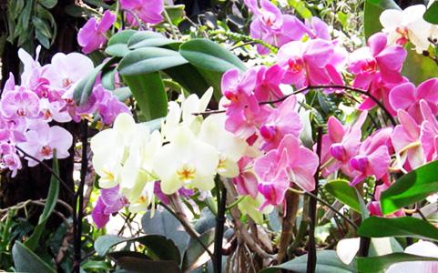 орхидеи размножение черенками