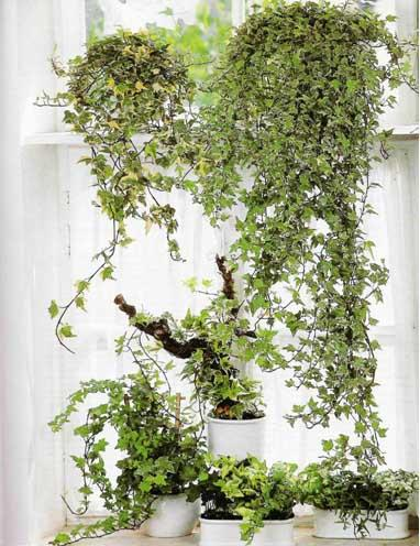Вьющиеся комнатные растения как
