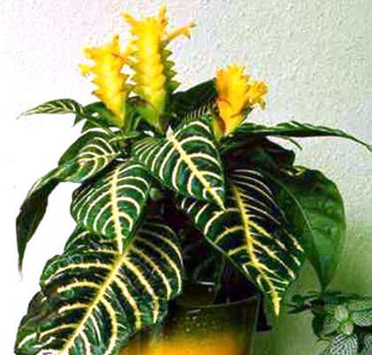 Цветок афеландра прихотливый