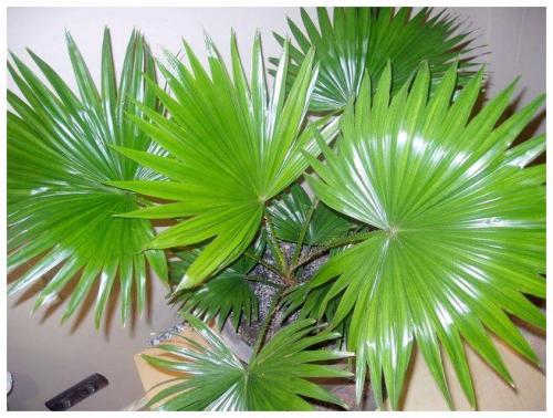 виды пальм домашних