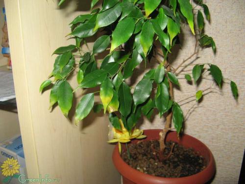 почеу желтеют листья фикуса