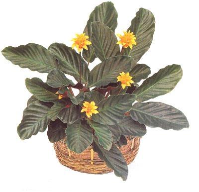 Цветы как ухаживать за драценой в домашних условиях 71