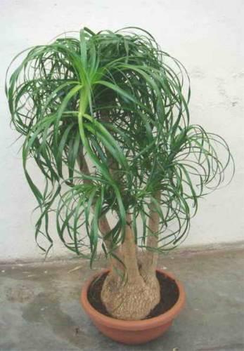 Бутылочное дерево нолина выращивание 912