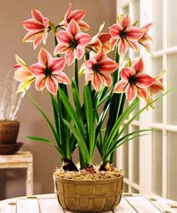 Красивый цветок комнатная лилия