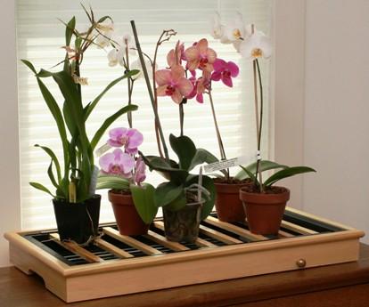 Комнатные сорта орхидей