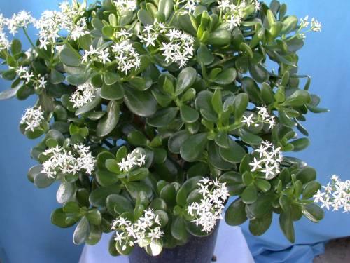 Комнатное растение денежное дерево