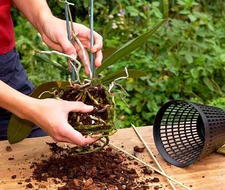 Уход за орхидеей и ее пересадка