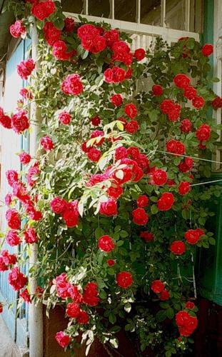 Вьющаяся роза фото