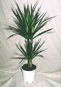 Комнатное растение драцена получила