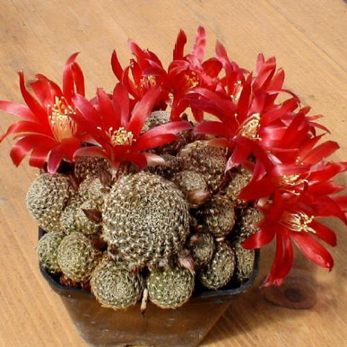 гортензия цветок уход в домашних условиях фото