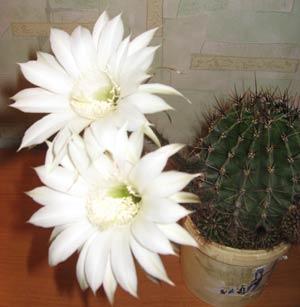 Kaktus_vcvetu.jpg