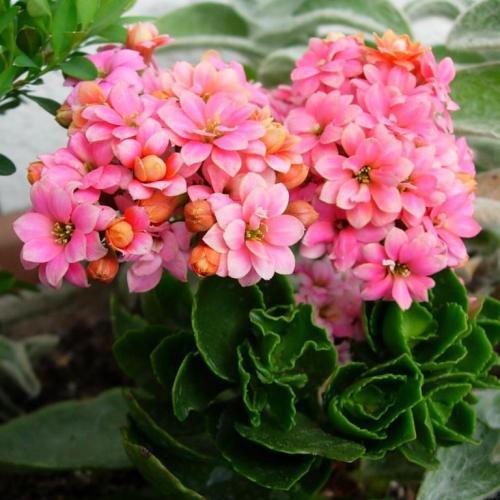 Комнатный цветок бегония королевская