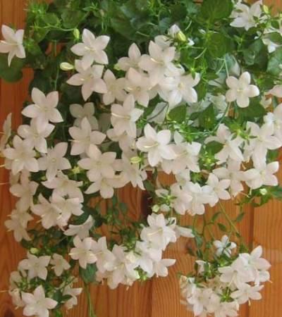 Плетистые комнатные растения на фото