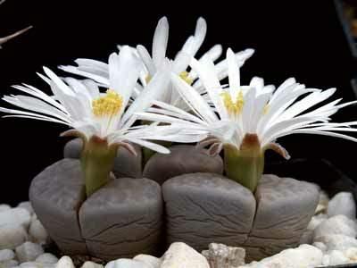 Камни цветы фото