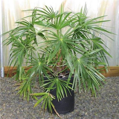 Веерная пальма для декорации офисов