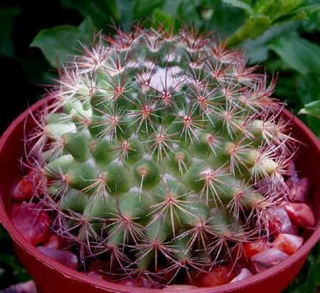 виды голубых кактусов ядовитых