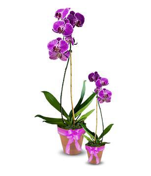 Выращивание орхидеи