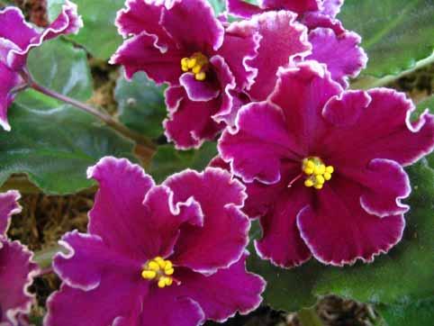 Цветы фиалки особенно следует
