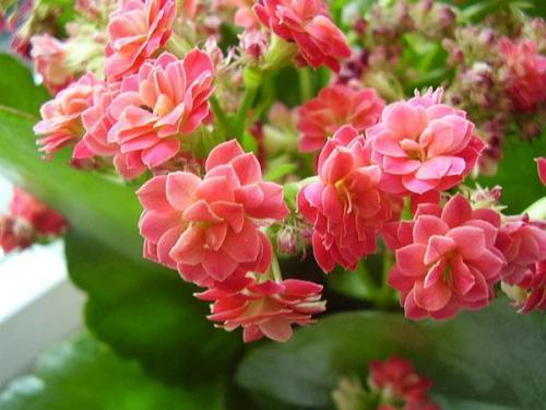 Цветок комнатный с маленькими красными цветочками