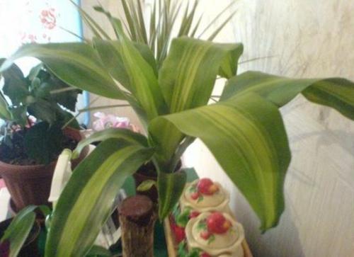 Комнатные цветы драцена уход в домашних условиях