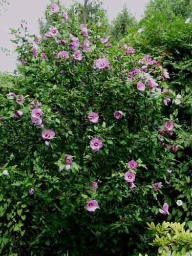 Гибискус садовый придаст садовому