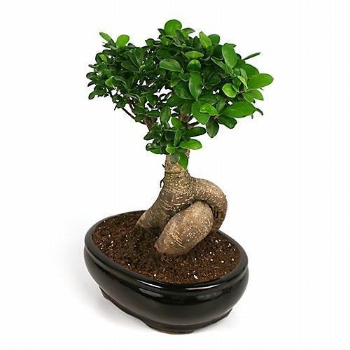 бонсай цветок фото