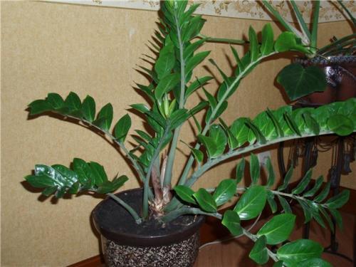 Комнатные растения самара комнатные