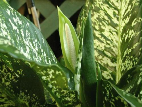 ядовитые растения в доме фото и описание