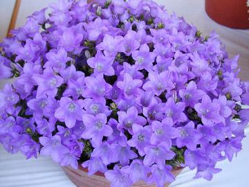 Колокольчик кампанелла цветок 56