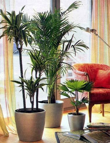 Пальма ливистона относится к
