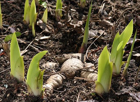Ирисы как сажать луковицы 17