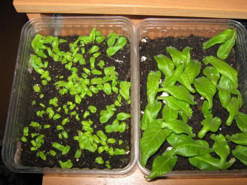 Как вырастить стрептокарпус из семян?