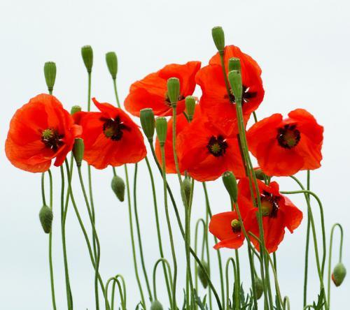 Квіти схожі на маки
