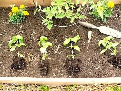 Можно ли пересаживать гортензию осенью садовую